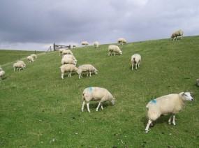 schaapjes op de waddijk Friesland
