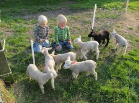 lambs camping Friesland Netherlands